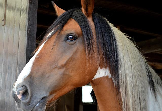 andaluský quater horse.jpg