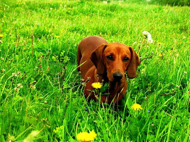 jezevčík v trávě