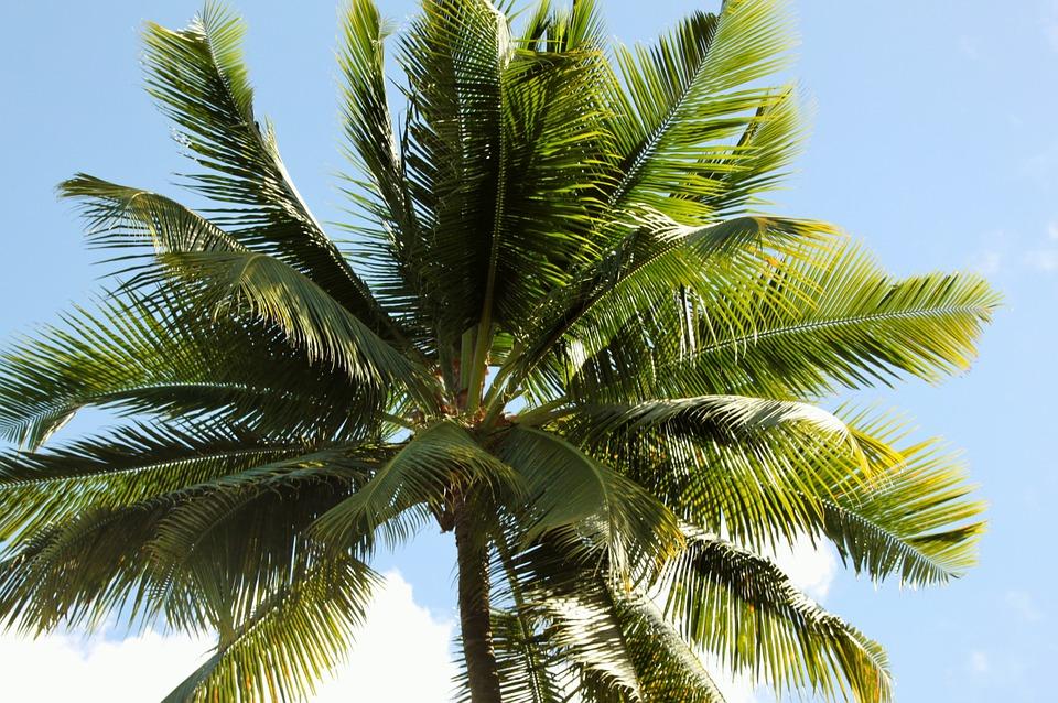 kokosovník paplma